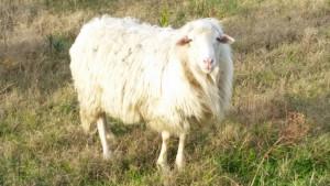 Schaf Sardinien