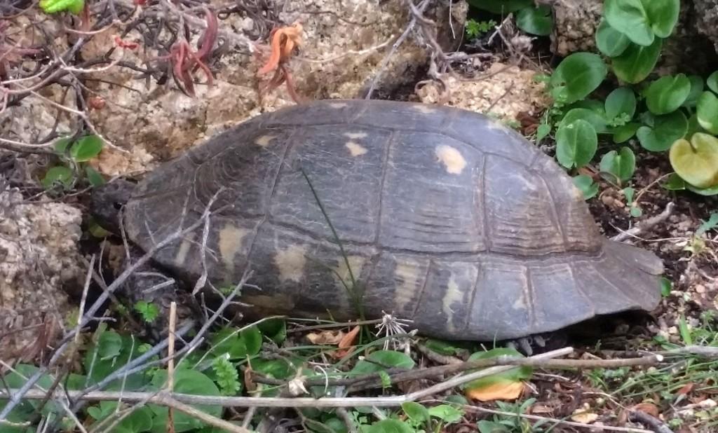 Schildkröte Sardinien