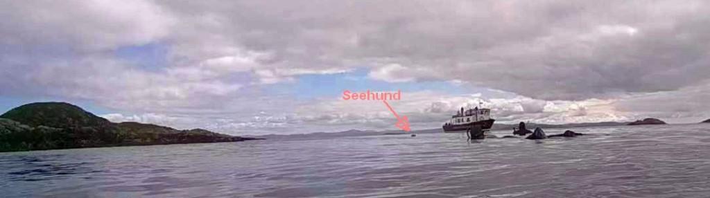 Seehund Schottland