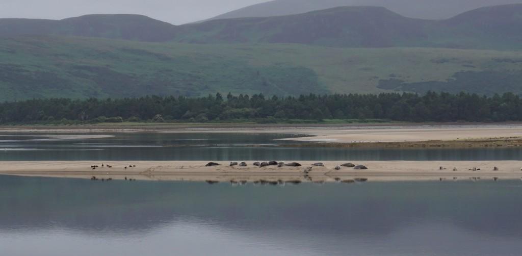 Loch Fleet - Seehunde